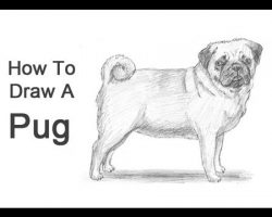 How to Draw a Pug!