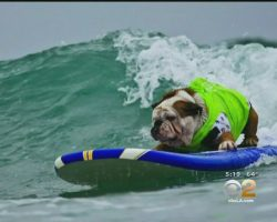 Hundreds Pay Tribute To Tillman The Beloved Surfing English Bulldog