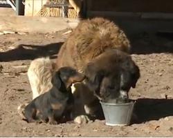 A Dachshund Does Something Amazing To Save His 180-Pound Saint Bernard Friend