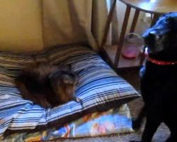 How These Dogs React To Finding Cats Sleeping In Their Beds Will Leave You In Stitches