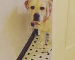 Labrador Retriever Adorably Stalks Owner