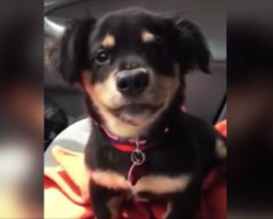 Puppy has a very clear message for Mom after she says 'no' to riding in her lap