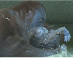 Orangutan Gives Birth On Camera, Sees Human Watching And Does The Most Extraordinary Thing