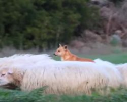 Dog Is Supposed To Be Guarding Sheep, But His 'Method' Has Entire Internet In Laughter