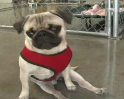 Pepe The Paralyzed Pug's Incredible Journey To Recovery. He Didn't Let His Disability Slow Him Down!