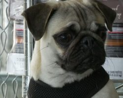 Pepe the Paralyzed Pug Will Warm Your Heart!