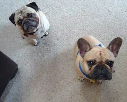 Pug and French Bulldog Look PERPETUALLY Perplexed, and They Are Awesome!