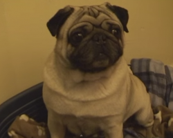 When His Human Isn't Home, This Pug Likes To Get His Moves On!