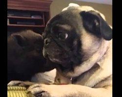 Pug Meets A Mini Pig. Their Reaction? Priceless!