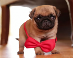 Pug Puppy Wearing a Bowtie like a Gentleman Will Make Your Day!