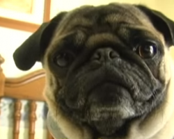 This Pug Rapping To 'Ice Ice Baby' Will Make Your Day