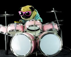 "Pug Rocks Out Drum To Metallica Song ""Enter Sandman"". It's Too Epic For Words…"