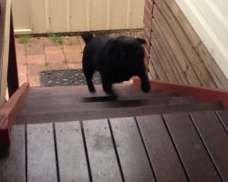 Watch Adorable Pugs Hopping Up the Stairs! It Will Make Your Day!