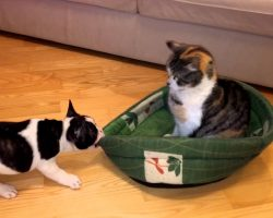 French Bulldog Puppy Tries To Reclaim His Bed From A Cat