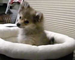 A Puppy Tries To Mimic A Wolf Howling – No Words Can Describe This Level Of CUTENESS