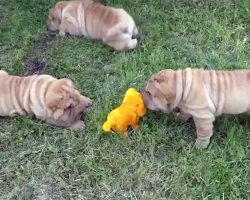 Nothing Is Cuter Than A Litter Of Extra-Wrinkly Shar Pei Puppies Playing With This Toy