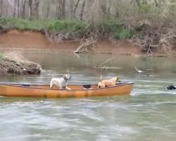 Smart Labrador Retriever Rescues Two Dogs Trapped In Canoe