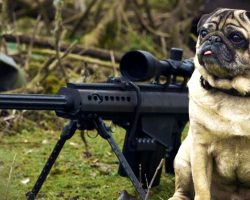 This Sniper Pug Is A Total Maverick. This Video Had Me Laughing In Tears!