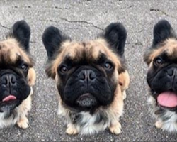 These Super-Rare Long-Haired French Bulldogs Are Taking The Internet By Storm