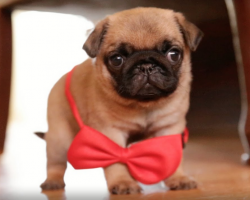 5 Things Only a Pug Owner Would Understand