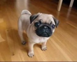 This 10 Week Old Pug Puppy Will Brighten Up Your Day