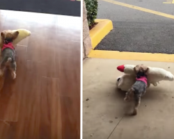 Tiny Yorkie Picks Out Her Own Toy, Needs No Assistance Getting It To The Car