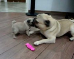 Two Pug Puppies In Epic Battle For Pink Bone