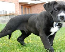 15 UNREAL Boxer Dog Cross Breeds You've Got To See To Believe