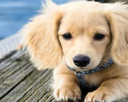 34 UNREAL Dachshund Cross Breeds You've Got To See To Believe