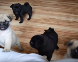 (VIDEO) These Adorable Pug Puppies Are So Cute They Will Make You Mad