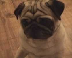 Want To See A Pug Dance???