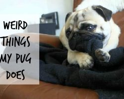 Weird Things Pugs Do