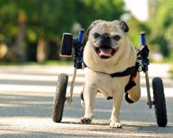 Wheelchair Doesn't Sideline Florida Pug. This Dog Will Brighten Your Day!