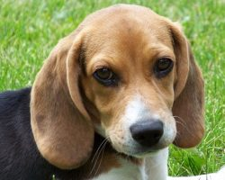 12 Realities New Beagle Owners Must Accept