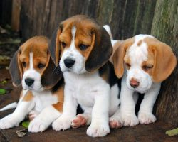 12 Realities New Beagle Owners Must Learn To Accept