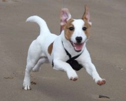 12 Realities New Jack Russell Terrier Owners Must Accept