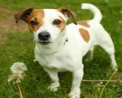 15 Signs That Indicate You're A Crazy Jack Russell Person… And Are Damn Proud of It!