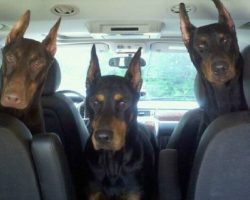 19 Reasons Why Dobermans Are The Worst Dogs To Live With