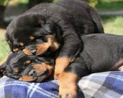 19 Reasons Why Rottweilers Are The Worst Dogs To Live With