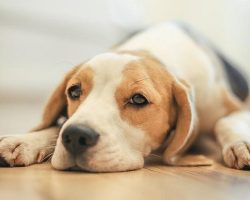 20 Things All Beagle Owners Must Never Forget. The Last One Brought Me To Tears…