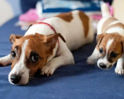 20 Things All Jack Russell Owners Must Never Forget. The Last One Brought Me To Tears…