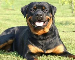 20 Things All Rottweiler Owners Must Never Forget
