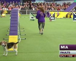 [Video] Beagle Gets Distracted During Dog Show Agility Course And Makes Entire Audience Laugh