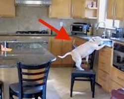 Hidden Camera Catches Naughty Beagle Stealing Chicken Nuggets