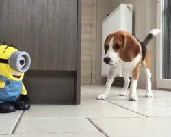 "Beagle VS ""Tumblin Stuart"" The Minion – This Is Too Cute!"