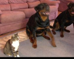 "Rottweilers ""Rolls-Over"" On Command. The Cat Sitting Next To Them? Wow."