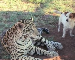 Jack Russell Terrier And Jaguar Are Unlikely Best Friends