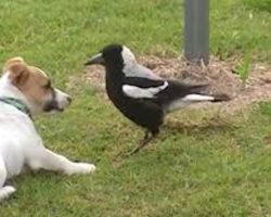 Jack Russell Terrier Has An Unusual Friendship With Australian Magpie