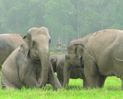 Herd Of Elephants Get Excited Every Time It Rains