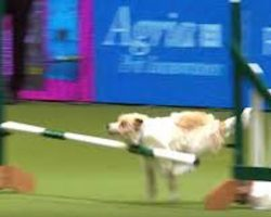 Jack Russell Terrier Goes Crazy with Excitement On Dog Agility Course